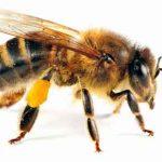 Lebah Atau Tawon?